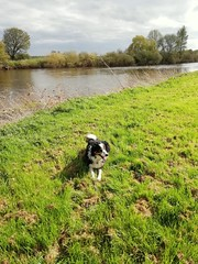 MY BORDER COLLIE (kelvin mann) Tags: trent rivertrent nottinghamshire bordercollie bordercolliesheepdog sheepdog collie dog pet