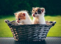 Gemelli diversi (Diego Pianarosa (aka Pinku)) Tags: diegopianarosa pinku cats gatti gemelli little cute teneri piccoli cuccioli micetti micio gatto wow love soe animals animali