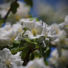 fleure_cerisier