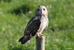 Brandugla - Asio flammeus - Short-eared owl. (Jón Mýrdal Böðvarsson) Tags: ugla brandugla akranes owl
