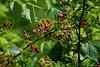 Blackberry (Paul's Captures (paul-mashburn.artistwebsites.com)) Tags: blackberry blackeyedsusan pickerelweed monet lotus nelumbonucifera magnolia butterflyweed commondaisy