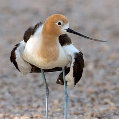 American Avocet (Ed Sivon) Tags: america canon nature lasvegas wildlife wild western southwest shorebird desert clark county flickr vegas bird henderson nevada