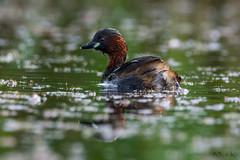 Perkozek/Grebe/Tachybaptus ruficollis (mirosławkról) Tags: bird birds nature wildlife ornithology wild silesia nikonnaturephotography 150600 grebe water pond poland lake green