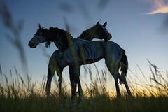 Bleu Horses by Jim Dolan (mark galer) Tags: alpha ambassador ilce markgaler mirrorless sony sonyalpha sonyalphailc sonyaustralia melbournephotographer shotwithsony sonyimages sonyphoto sonyphotographer sonyphotography jim dolan bleu horses