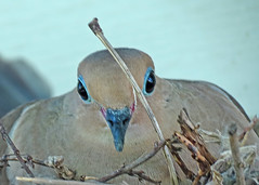 BLUE SHADOW (ddt_uul) Tags: spring dove blue mourningdove nest shadow mother