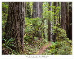 Redwood Forest Trail (G Dan Mitchell) Tags: prairiecreek unit redwood national state park grove trees forest quiet old growth nature landscape trail norther california usa north america rhododendron