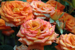 Red roses (Kapitalist63) Tags: flowers flora nature beauty color colour kind look view sight light season garden bright dacha nikon lily rose