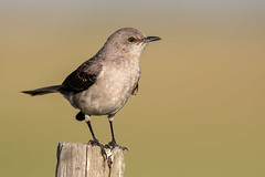 Mockingbird (Simon Stobart) Tags: mockingbird mimus polyglottos usa perched post florida coth5 ngc npc