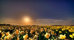 A flock of daffodils enjoying the last sunrays. (Alex-de-Haas) Tags: 11mm adobe blackstone d850 dutch hdr holland irix irix11mm irixblackstone lightroom nederland nederlands netherlands nikon nikond850 noordholland photomatix beautiful beauty bloem bloemen bloementeelt bloemenvelden cirrus daffodil daffodils floriculture flower flowerfields flowers landscape landschaft landschap lente lucht mooi narcis narcissen polder skies sky spring sun sundown sunset zonsondergang burgerbrug nl