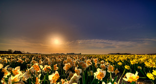 A flock of daffodils enjoying the last sunrays.
