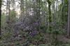 Drongengoedbos - Belgium (wietsej) Tags: drongengoedbos belgium sony rx10 iv rx10m4 nature rhododendron