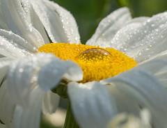 Daisy Time. (Omygodtom) Tags: white daisy flower water waterdrops tamron90mm raindrop macro bokeh dof d7100 refraction usgs