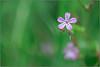 Géranium sauvage (Des.Nam) Tags: flleurs flore nature pdc bokey bordure desnam nordpasdecalais hautsdefrance nikon proxy macro couleur douceur 105mmf28 nikkor champêtre rose vert