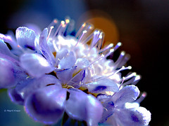 Mariposa Blué 7DWF Flora (magritknapp) Tags: scambiosamariposablué bokeh unschärfemarkiert blurredmarked lefloumarqué borrosidadmarcado blurmarcado blurrinessgemerkt oskärpamärkt sløringmærket rozmycieoznaczony 7dwf flora
