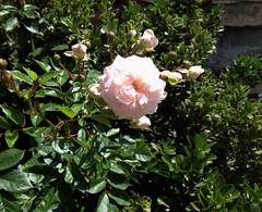 Rose flower, роза (Anna Gelashvili) Tags: plant цветокроза роза rose flower цветок flowers цветочки garden roseflower ვარდი თეთრი leaf лист ფოთოლი macro макрос თეთრივარდი