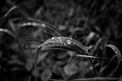 (Russo 86) Tags: biancoenero blackandwhite bnw monocromo monochrome greyscale italia italy laquila abruzzo pianta plant acqua water goccia gocce rugiada