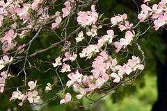 pink dogwood in bloom (ophis) Tags: cornales cornaceae cornus cornusflorida floweringdogwood pinkdogwood