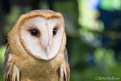 Barn Owl (Mitch Vanbeekum Photography) Tags: barnowl barn owl tytoalba mitchvanbeekum mitchvanbeekumcom canoneos1dx canon100400mm brewster ny newyork greenchimneys