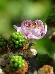 Blackberry Blossom (The-Beauty-Of-Nature) Tags: summer sommer june juni nature germany deutschland plants pflanzen green grün lush sunny sun sonne sonnig warm fields feld blossom blüte