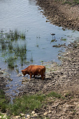 At the Watering Hole (gpeier) Tags: cow grantpeier kansas nature green pond lake water birdwatching drinking animals farm ranching cattle pasture fowl