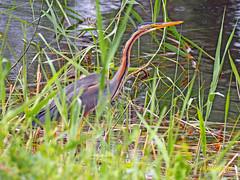 Garza imperial (Ardea  purpurea) (52) (eb3alfmiguel) Tags: aves acuaticas ciconiiformes ardeidae de garza imperial ardea purpurea pájaros hierba pájaro animal agua