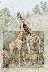 2018-06-18_06-30-28 (pixelarized) Tags: giraffe giraf wildlife southafrica zuidafrika krugerpark nature
