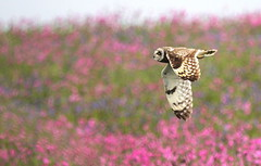 Short eared owl and red campion (Sue Wolfe) Tags: welshwildlifebreaks skomer skomerisland wildlife bird owls shortearedowl nature wildlifetrustofsouthandwestwales islands wildflowers bluebells redcampion