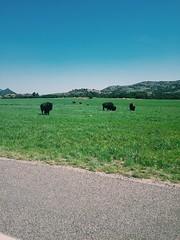 Buffalo (katyearley) Tags: hills iphone animal blue sky green grass refuge range buffalo