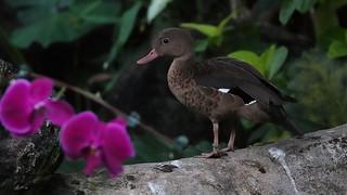 Rainforest duck