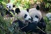 Bamboo Feast (Susan.Johnston) Tags: thecalgaryzoo bamboo pandas