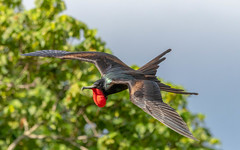Male Christmas Frigate Bird (dmunro100) Tags: frigate seabird christmasisland endangered male gular wingspan large indianocean