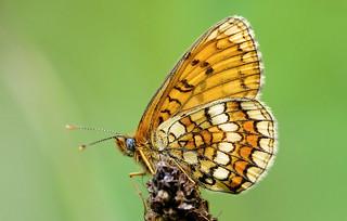 Heath Fritillary - Mellicta athalia