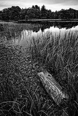 The lake is drying up (Vest der ute) Tags: xt2 norway rogaland haugesund eivindsvatnet water waterscape landscape lake mono reflections weed trees grass wood sky fav25