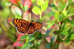 Asknätfjäril_6087 Euphydryas maturna (anders arman) Tags: insect wildlife högsjön gnesta nature scarcefritillary eurasianbaskettail fjäril butterfly