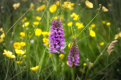 In the Meadow (wilkinsong) Tags: orchid buttercup meadow