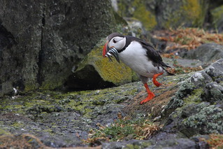 Puffin on parade