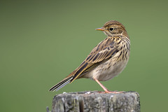 Meadow Pipit (Simon Stobart) Tags: meadow pipit anthus pratensis looking behind perched fence post northeast england uk