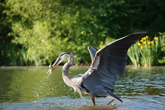 The Great Blue Catch (Ed McKaveney) Tags: alleghenycounty bird environment fishing greatblue heron northpark pennsylvania