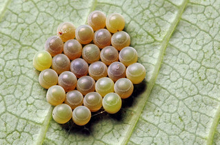Bug eggs again...