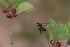 0523vöröskő-2368 (adam.leaf) Tags: canon 6d leafling capmonotus ligniperda sigma 100400