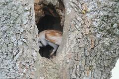 Barn Owl (flickr quickr) Tags: tytoalba barnowl