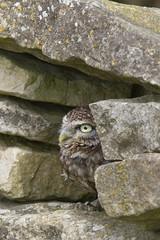 Little Owl (MV Photography (900,000 + Views)) Tags: canon 7d nature wildlife bird birdofprey litttle owl raptor