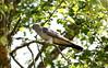 CUCKOO (billywhiz07) Tags: cuckoo bird uk summer visitor tree woodland