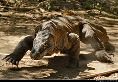 Komodo Dragon, Komodo NP, Indonesia (JH_1982) Tags: komodo dragon varanus komodoensis monitor lizard waran komodowaran 科摩多巨蜥 コモドオオトカゲ 코모도왕도마뱀 комодский варан animal wildlife dangerous scary wild tongue carnivorous island nature tier natur national park nationalpark np pn parc nacional parque taman nasional east west nusa tenggara unesco world heritage site parco nazionale 科莫多国家公园 コモド国立公園 코모도 국립공원 комодо национальный парк pulau 科莫多島 コモド島 코모도섬 indonesia indonesien indonésie 印度尼西亚 インドネシア 인도네시아 индонезия