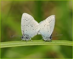 Mating Small Blues (glostopcat) Tags: smallbluebutterflies butterflies insects invertebrates littleblues macro spring may glos butterflyconservation prestburyhillnaturereserve