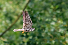 Hobby in flight (Karen Roe) Tags: lakenheathfen rspb lakenheath fen nature reserve naturereserve suffolk county england britain uk unitedkingdom greatbritain gb canoneos760d canon 760d 150600mm sigma zoom contemporary wildlife may 2018 peaceful quiet tranquil outside spring weather season camera photography photograph photographer picture image snap shot photo karenroe female flickr visit visitor royal society protection birds member