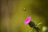 allure (Marc McDermott) Tags: bumblebee animal insect flower wild ef 135mm f2 usm nature