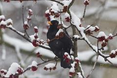 _MG_9063 (Foto Massimo Lazzari) Tags: revisione fotomassimolazzari bird inverno neve