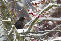 _MG_9015 (Foto Massimo Lazzari) Tags: fotomassimolazzari bird inverno neve