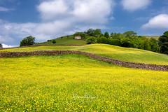 Buttercups in Swaledale (deanallanphotography) Tags: art adventure england beauty colors landscape flowers yellow